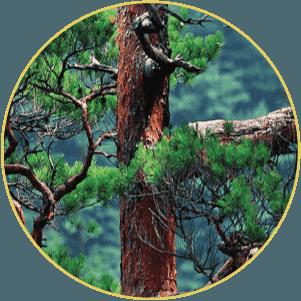 Khai thác từ những cây thông đỏ trên 100 năm tuổi