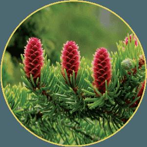 Những cây thông đỏ sinh trưởng tự nhiên hoang dã