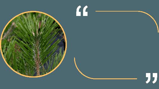 2,7kg lá thông để chiết xuất ra 1 viên tinh dầu thông đỏ Royal