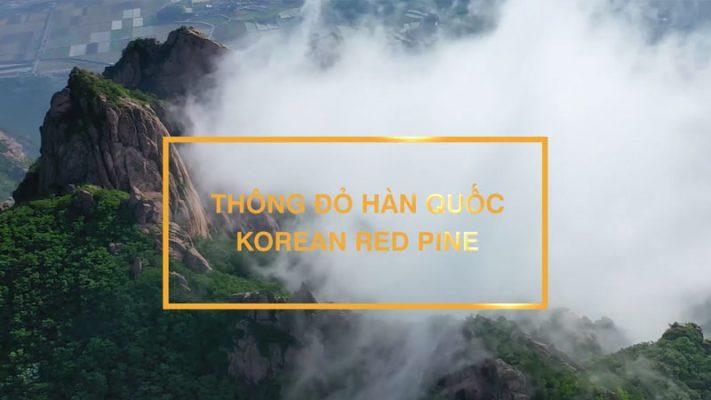 Tinh-dầu-thông-đỏ-Hàn-Quốc-Tìm-hiểu-về-nguyên-liệu-và-chất-lượng